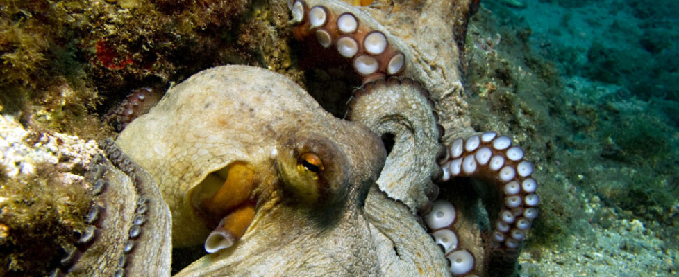 LOVE ON THE COSTA: The Strange and Wonderful World of Octopus Sex
