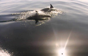 The distinctive dorsal fins of a pair of dolphins in the Mediterranean Sea outside of Marbella
