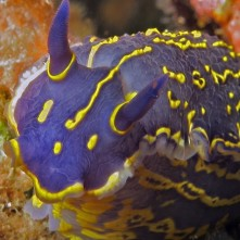 Elegant sea slug