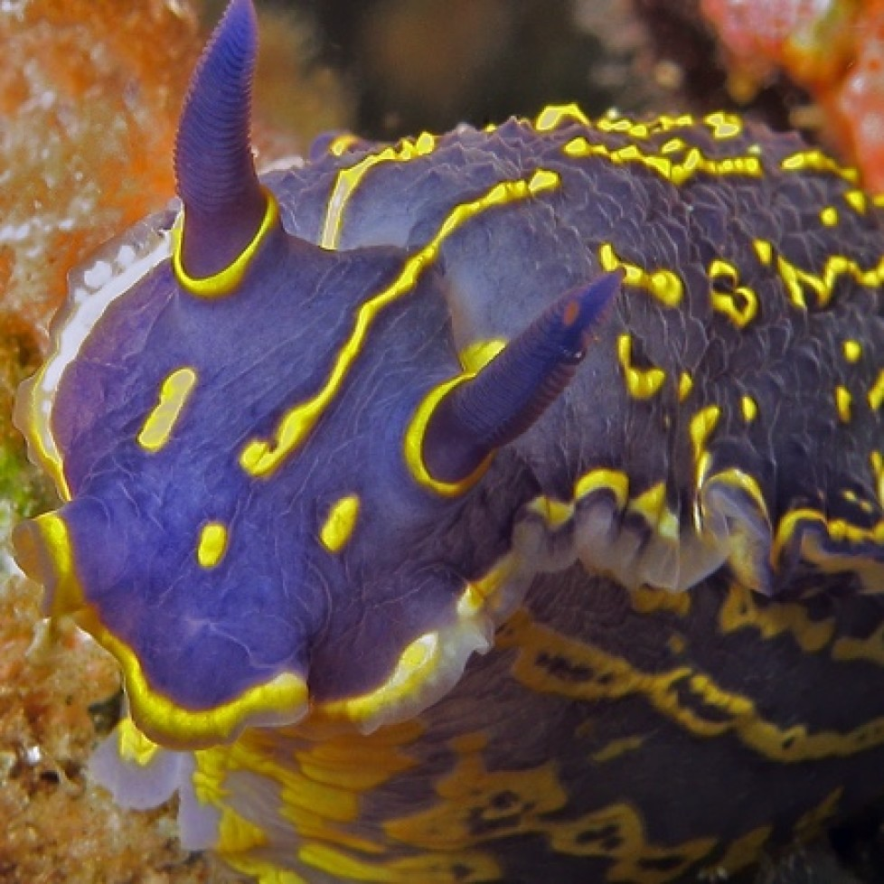 Elegant sea slug