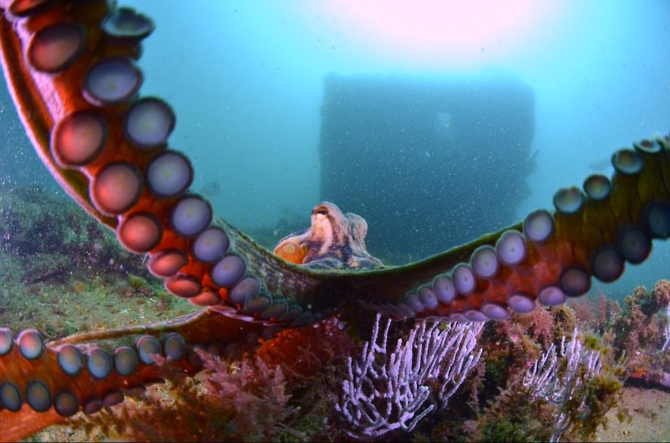 Common octopus on the Gibraltar wrecks