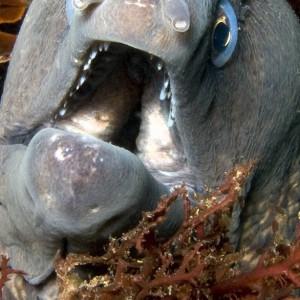 Mediterannean Moray eel