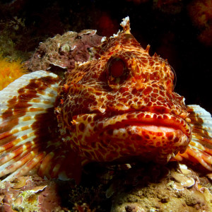 Red-lipped goby