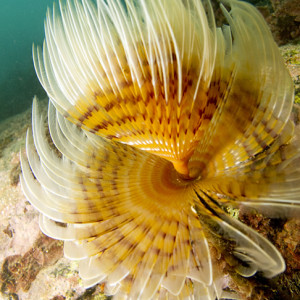 Spiral Tube Worm copy