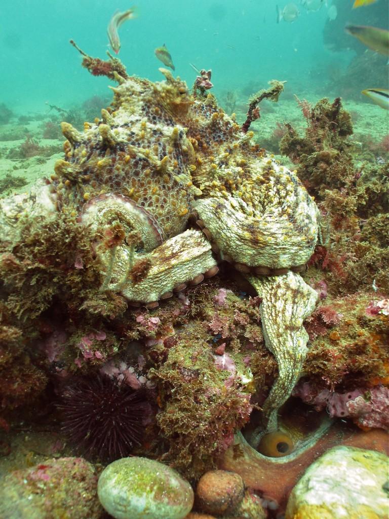 Octopus sex